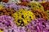 Des chrysanthèmes pour Elsa T.